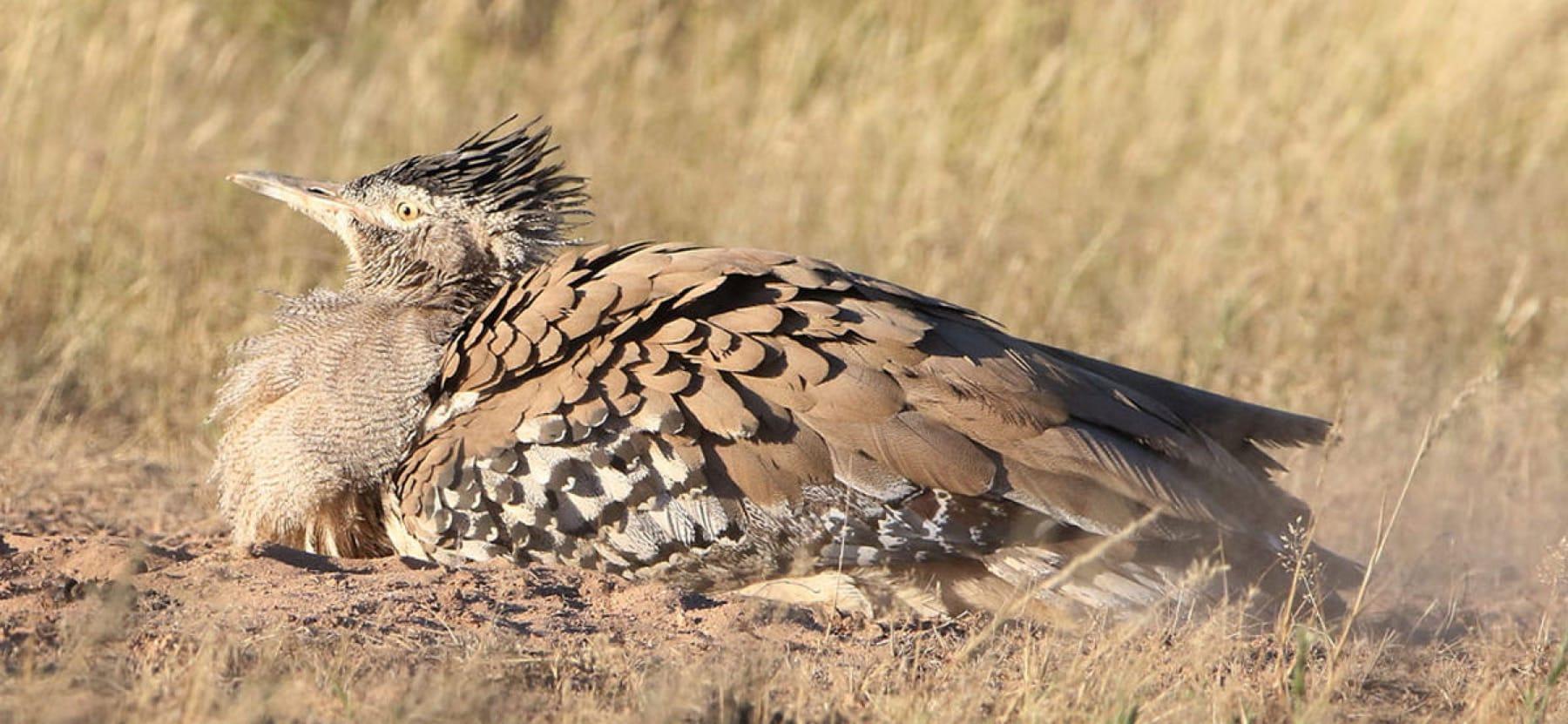 Birding safari holidays in South Africa_Kori Bustard