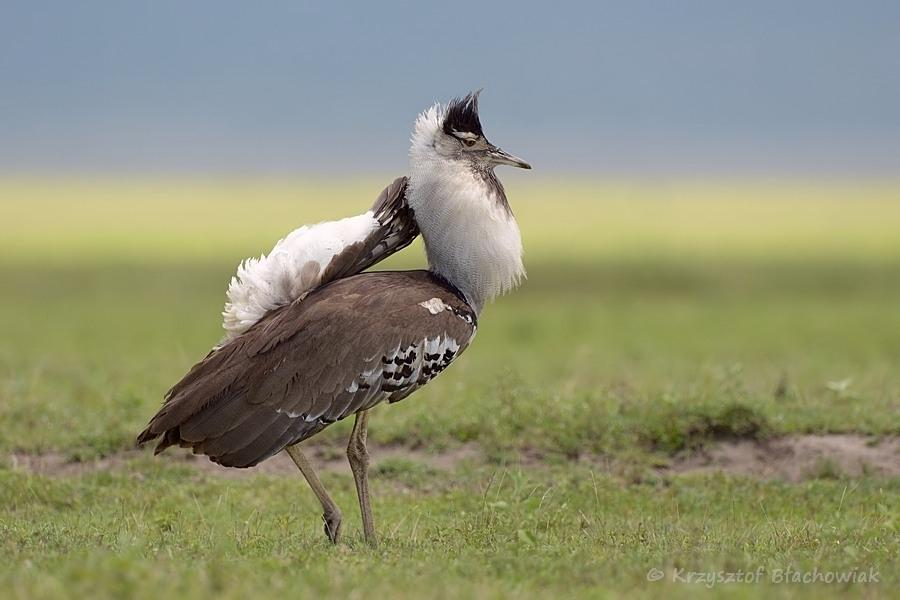 The Kori bustard  I  Credit: HBW Alive