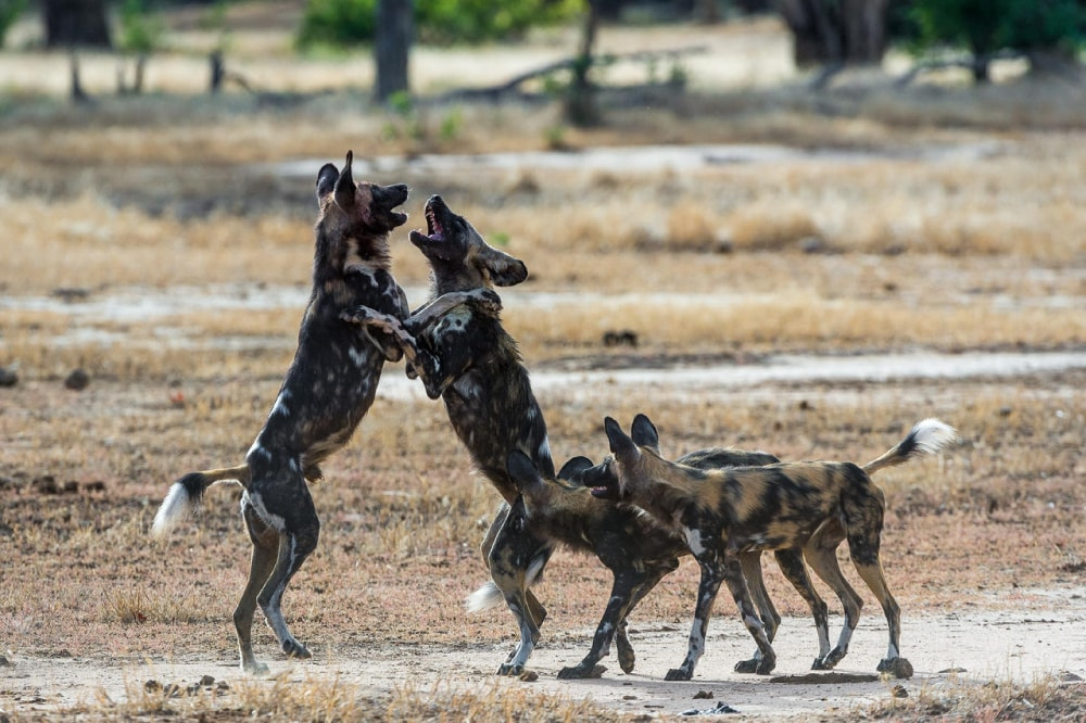 The African wild dogs are highly endangered species, with fewer than 5000 left in the wild