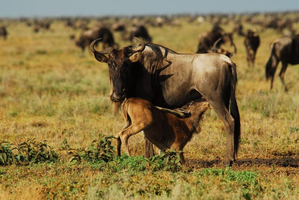 calving season wildbeest migration