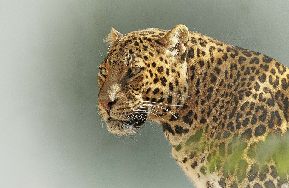 An intent glare by a leopard in the Tanzanian wilderness