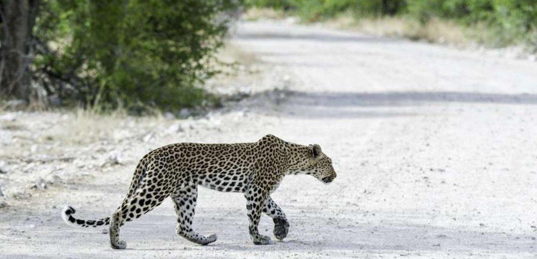 leopard onguma
