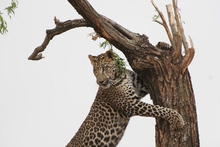 leopard tsavo west