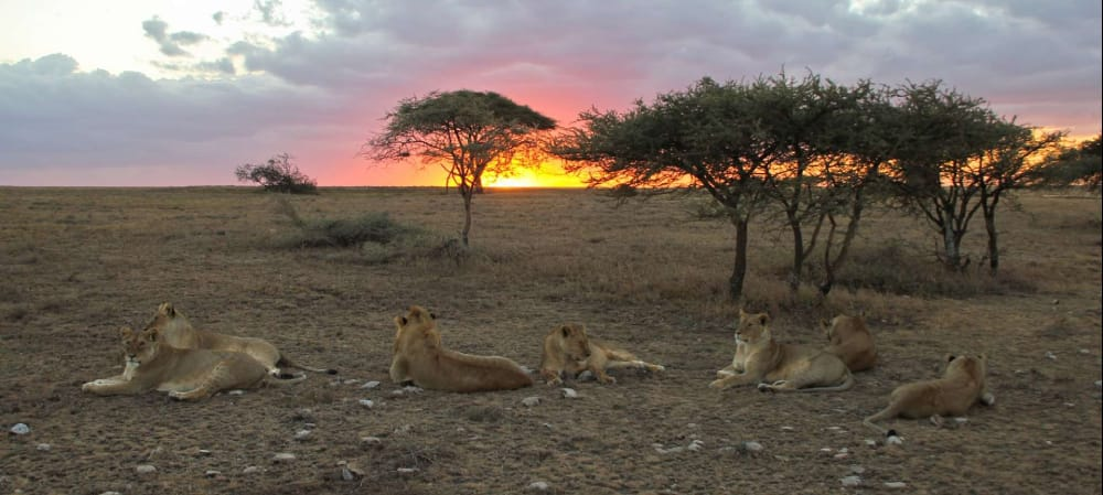 lion pride at sunset