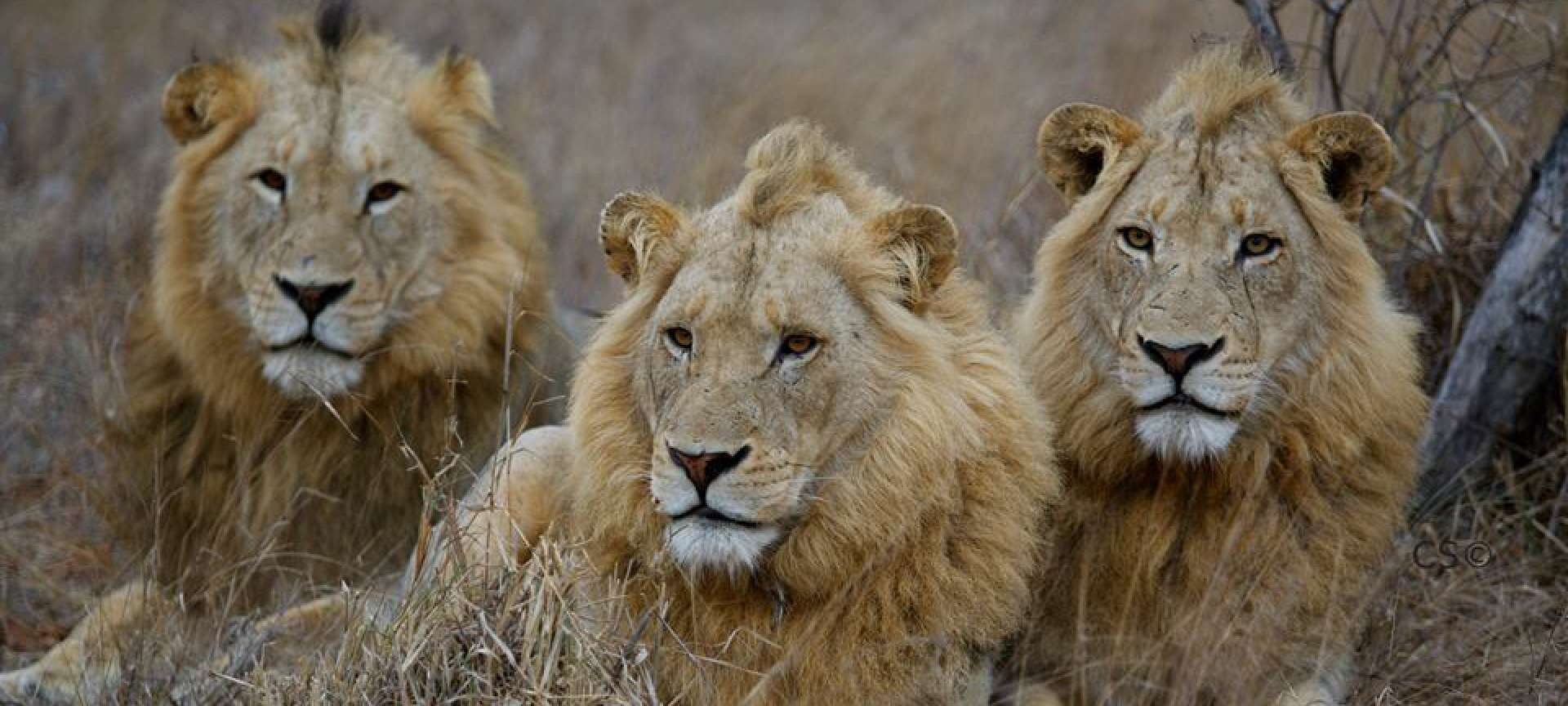 lions in the kruger national park wildlife safari