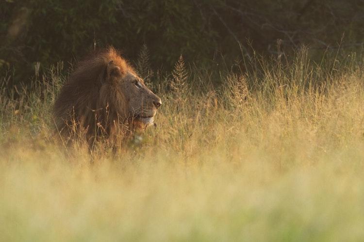 lion kruger national park