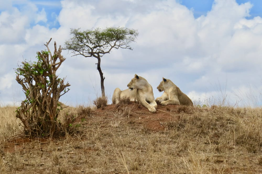 lions in the eastern serengeti tarangire national park