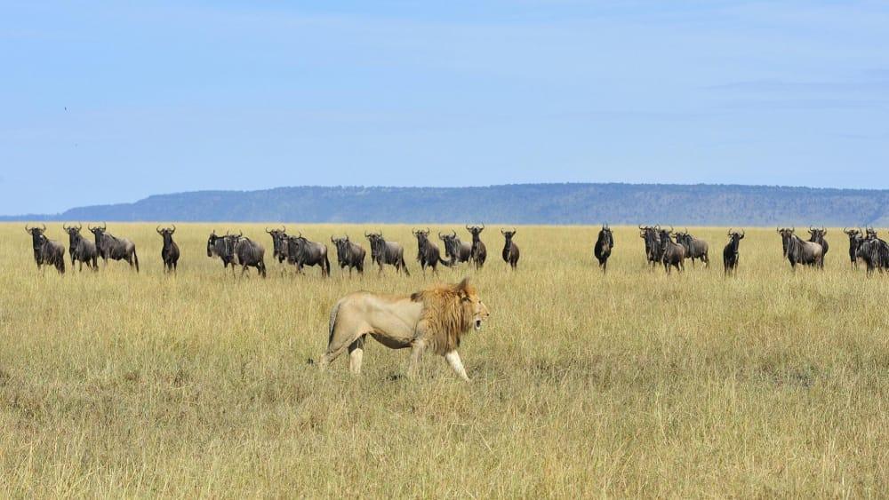 lion stalks wildebeest great migrations safari northern serengeti