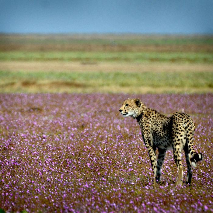 A cheetah amongst flowers in Liuwa Plain National Park, credit: Africa Geographic