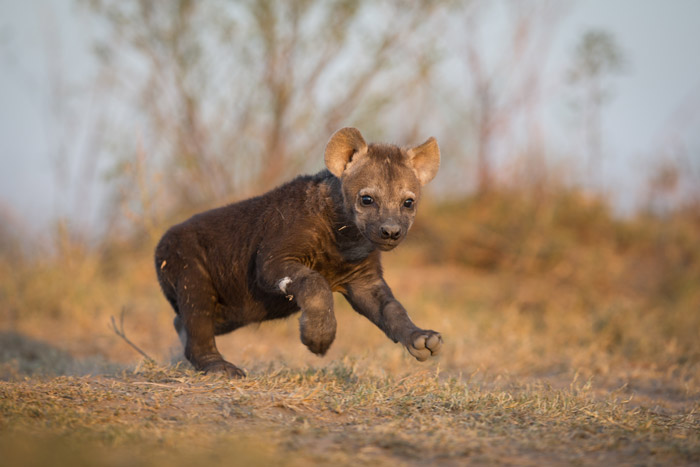 A hyena pup is born ready to rumble and often the stronger pups will force weaker siblings to starve by pushing them away from the mother, credit: Africa Geographic