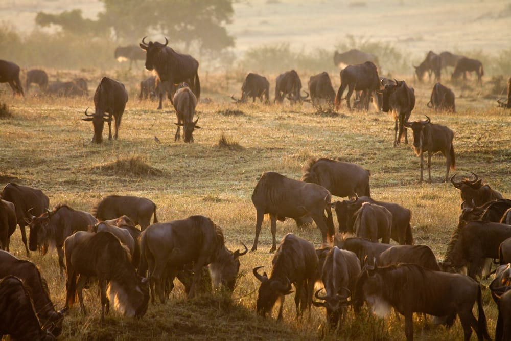 loita migration kenya safari