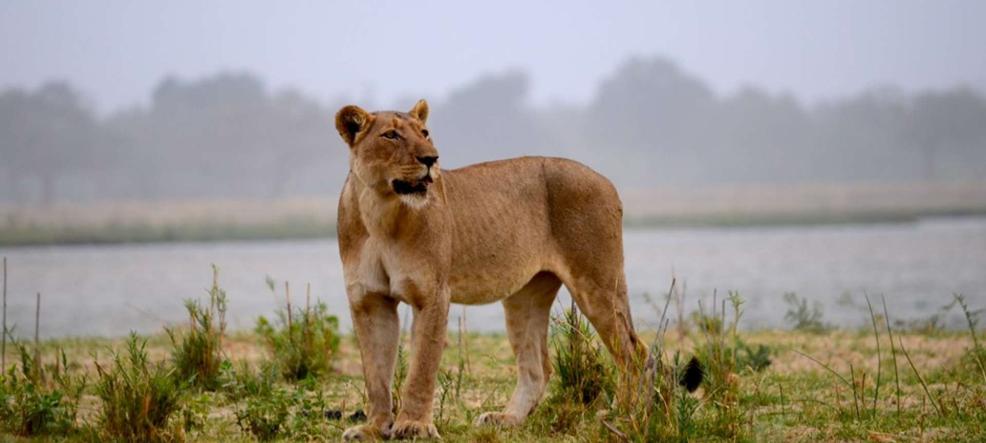 A lioness on the prowl in Lower Zambezi National Park