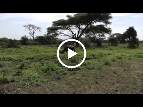 wildebeest-calf-walking-for-the-first-time