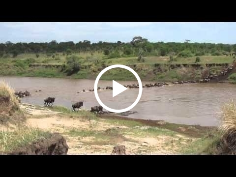 wildebeest-migration-crossing-the-mara-river-at-crossing-point-three