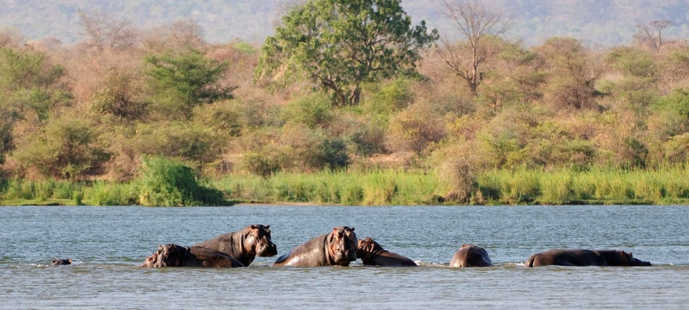 mana pools hippo