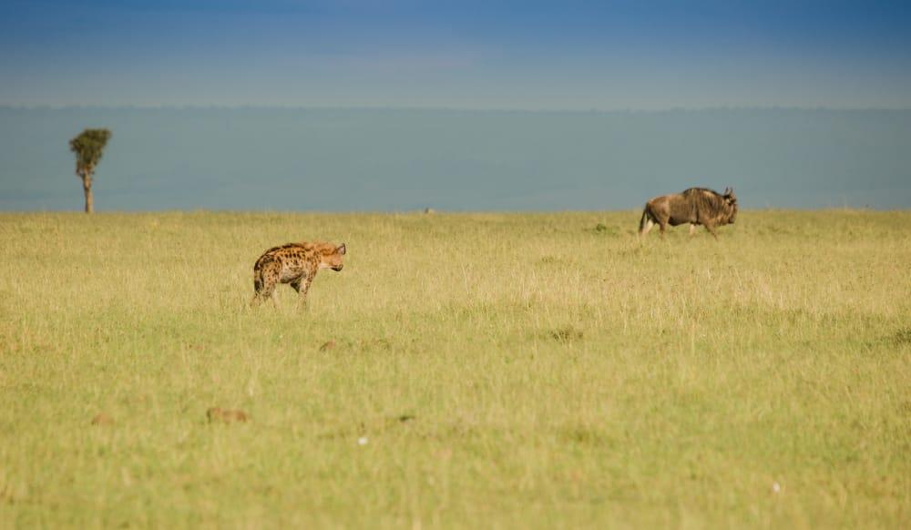 hyena-stalking-wildebeest masai mara safari