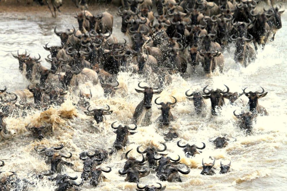 mara river crossing wildebeest migration