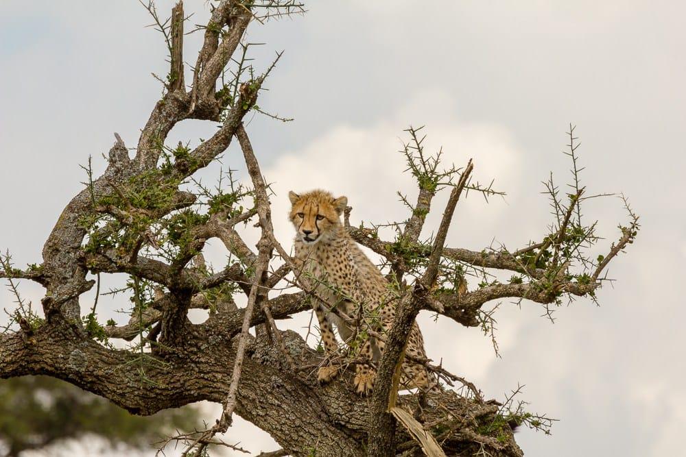 masai mara wildlife safari cheetah