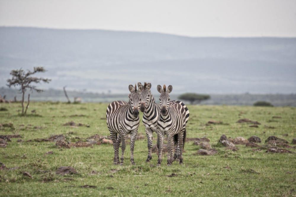 masai mara wildlife zebra