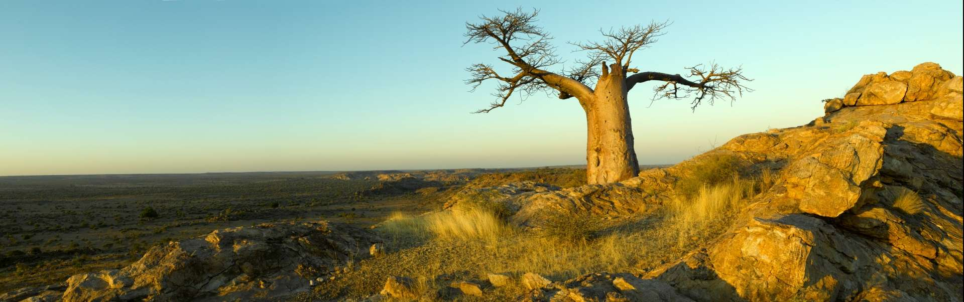Historic baobab trees can be see throughout Botswana
