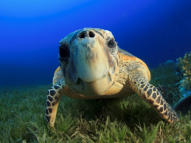Beautiful turtle abound in Mauritius  Credit: taxfreeshopping.mu