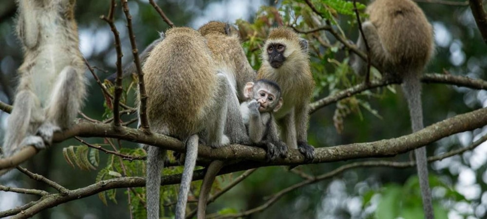 vervet monkey tracking