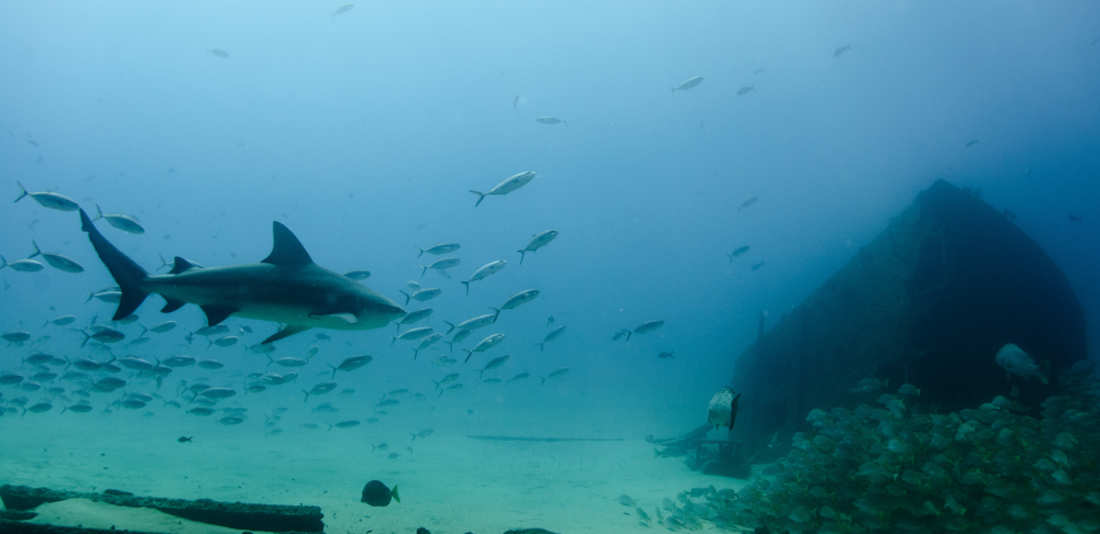 reef shark marine diving mozambique holiday