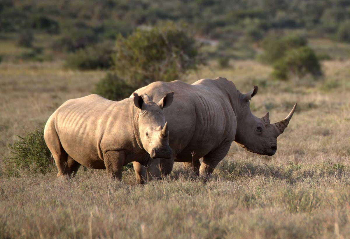 rhinos roaming in namibia