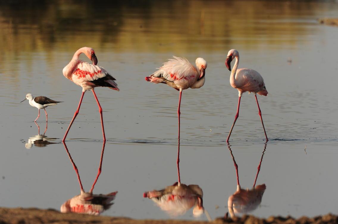 flamingos tanzania safari naona moru camp