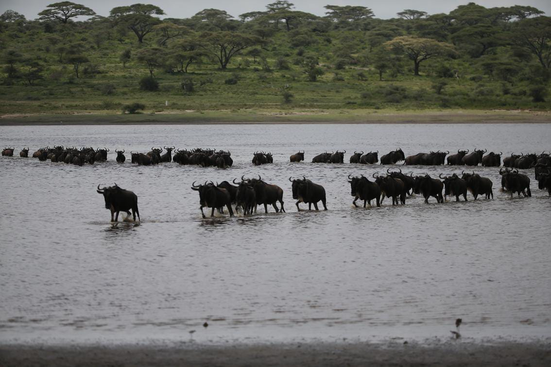 wildbeest crossing lake ndutu