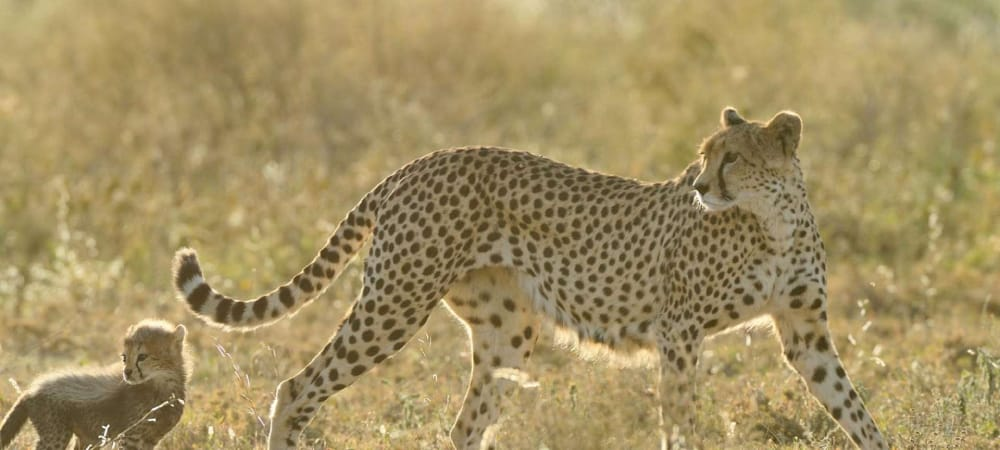 cheetah and cub in ndutu