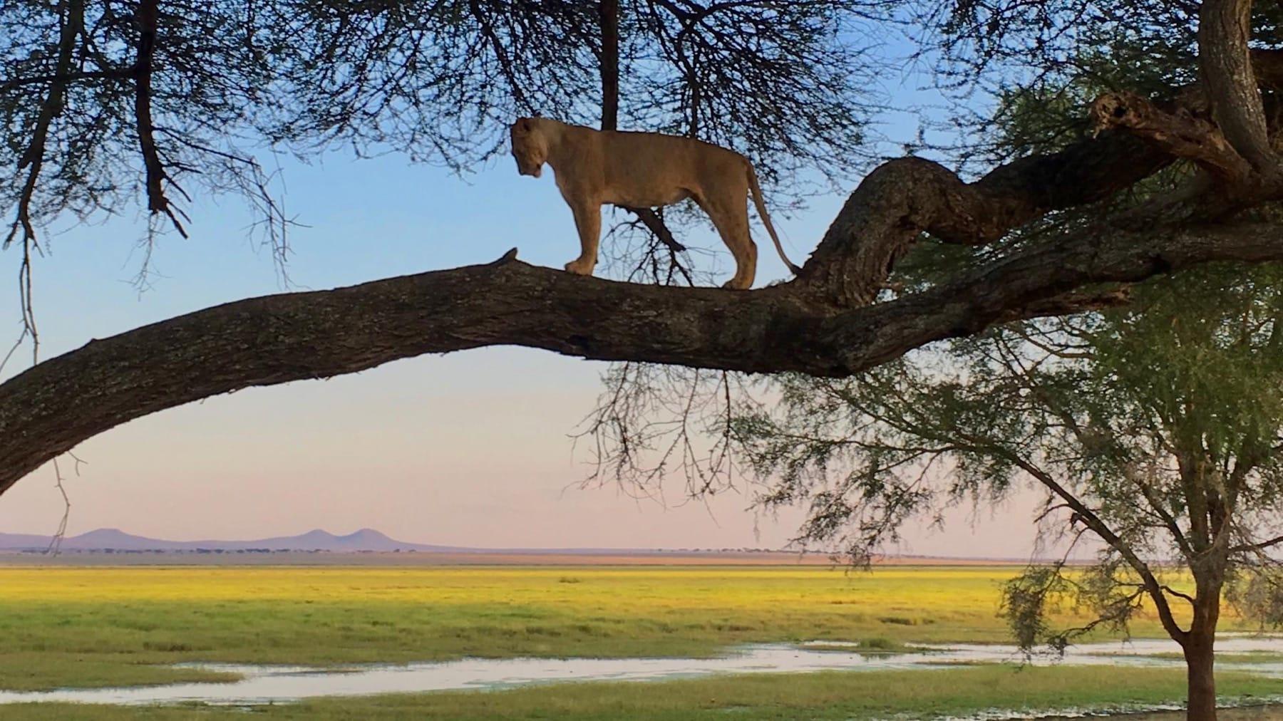 tree climbing lion tanzania safari