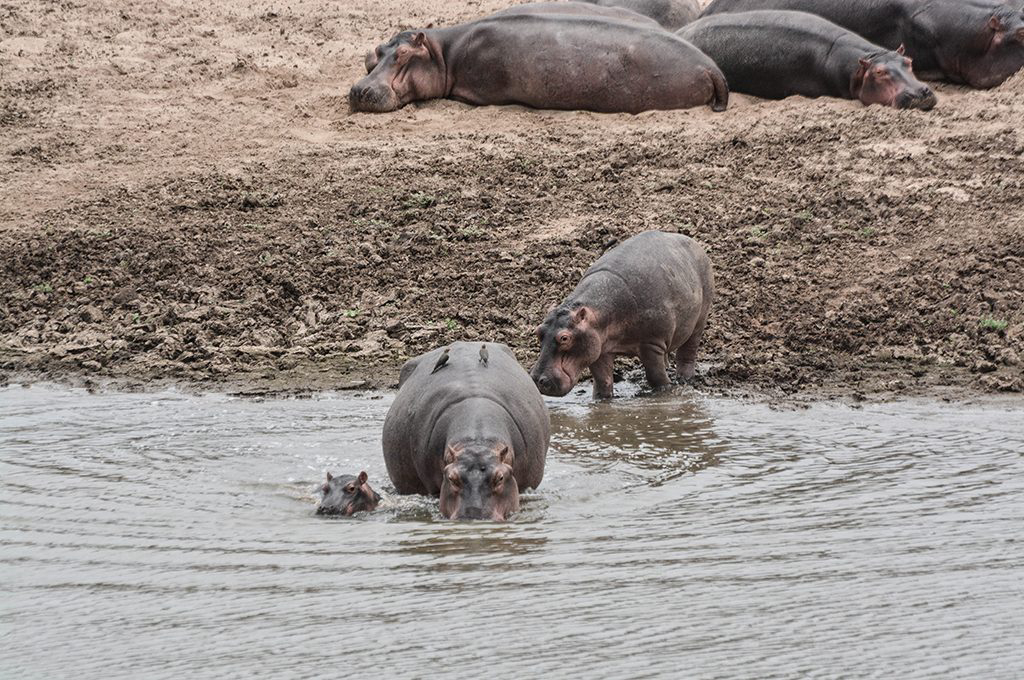 hippos-north-eastern-zambia