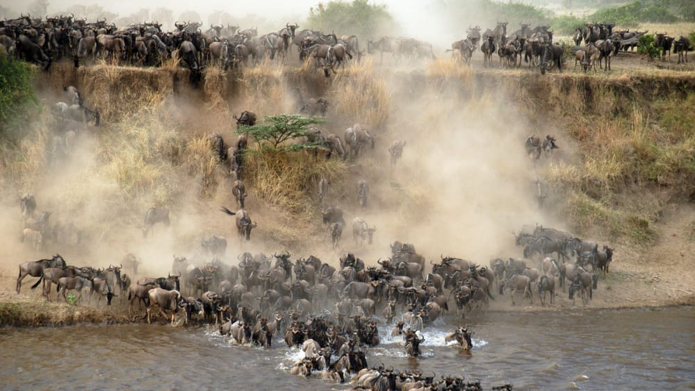great migration mara river crossings safari