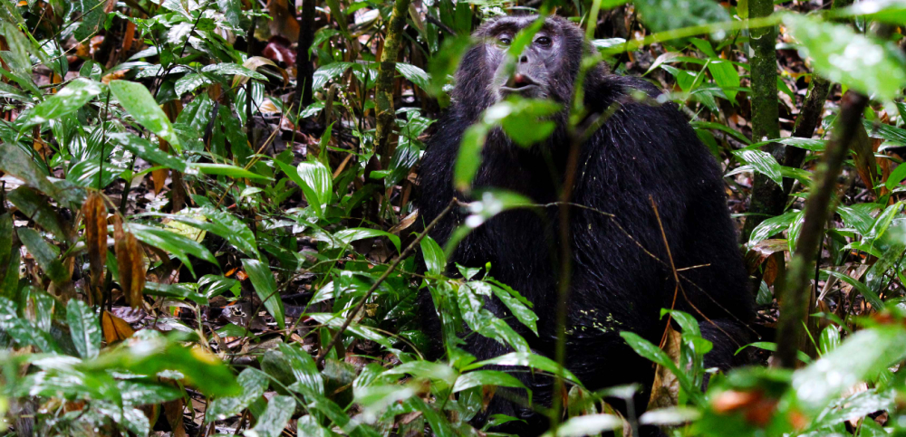 nyungwe-forest-national-park-chimpanzee