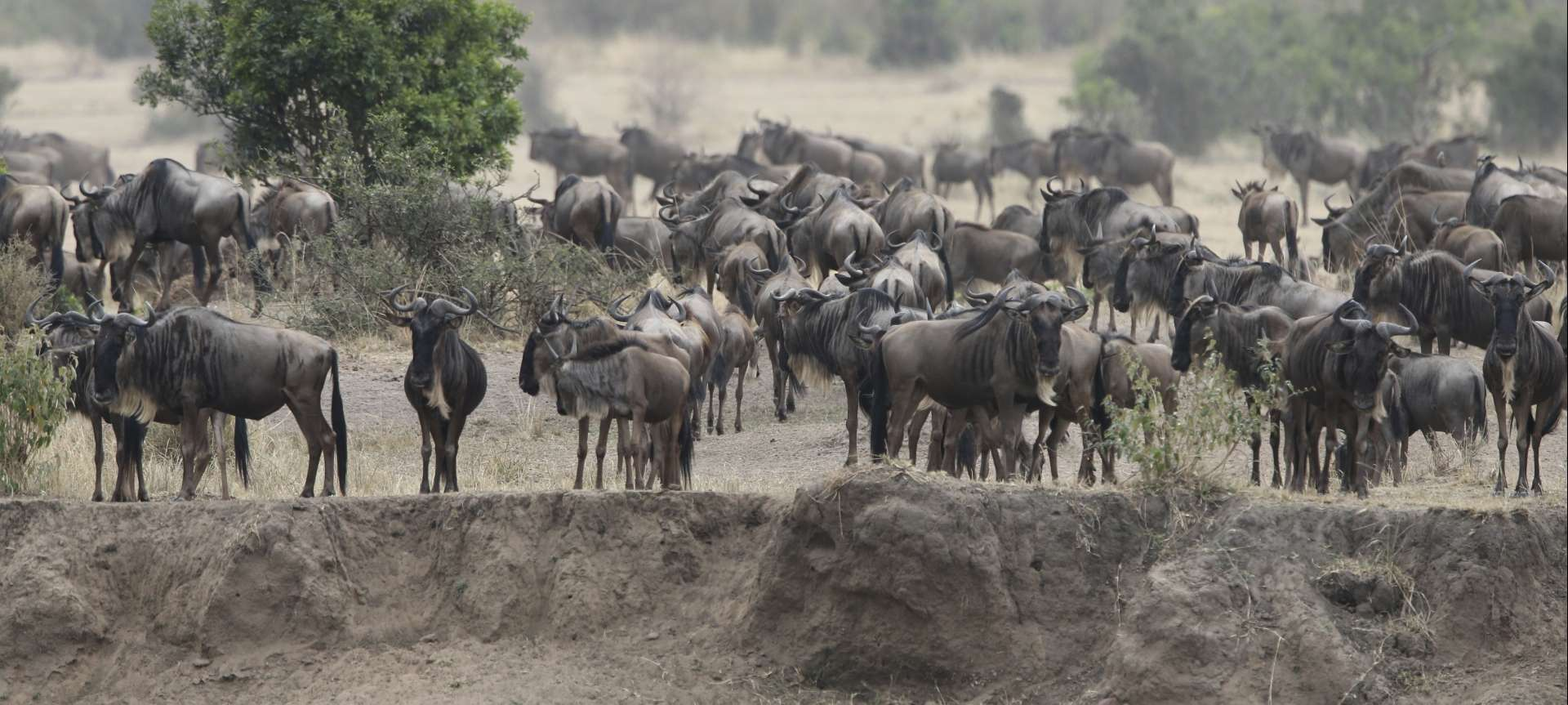 Migration_Kenya_Masai Mara