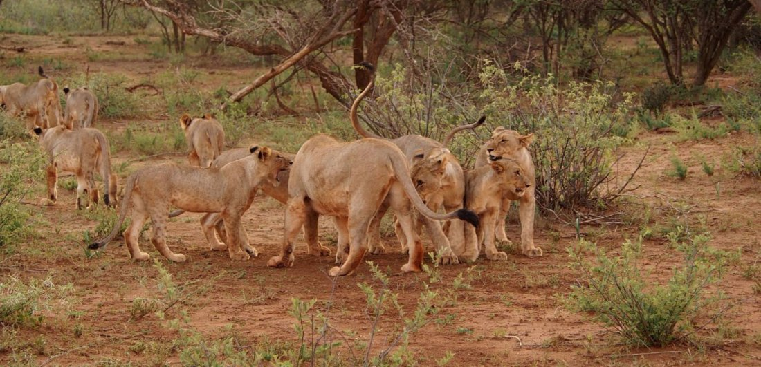 lions in the madikwe game reserve south africa animals