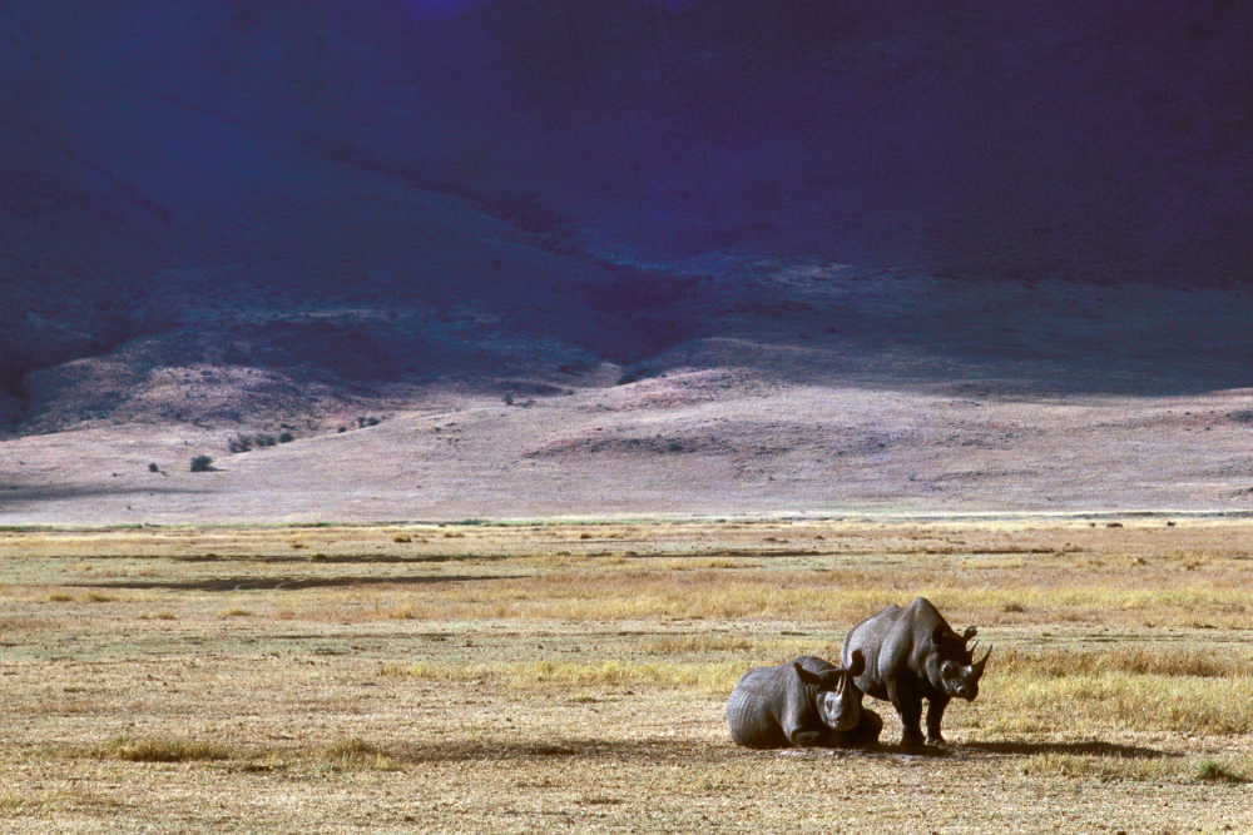 ngorongoro crater rhino wildlife tanzania safari
