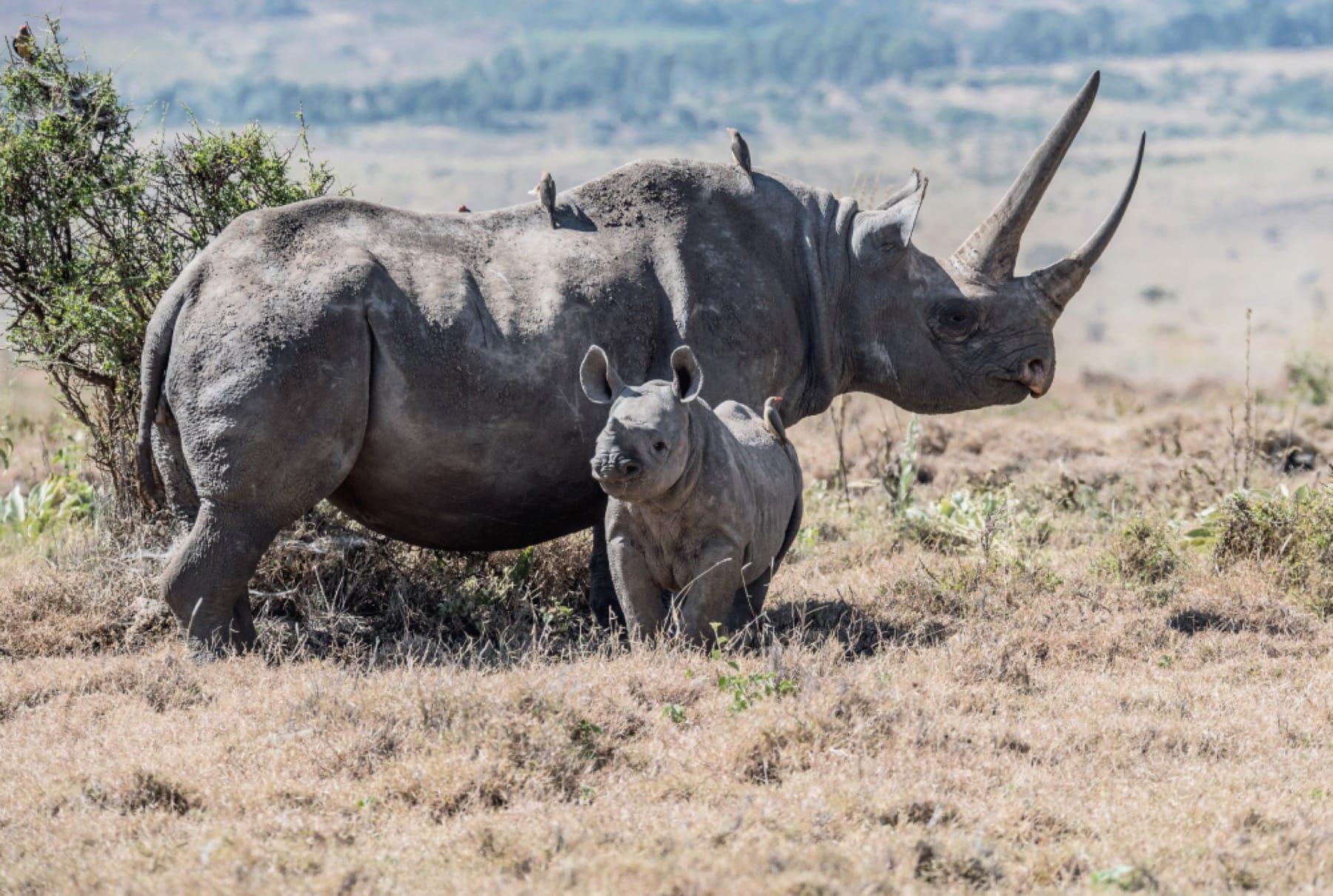 rhino and calf ngorongoro crater