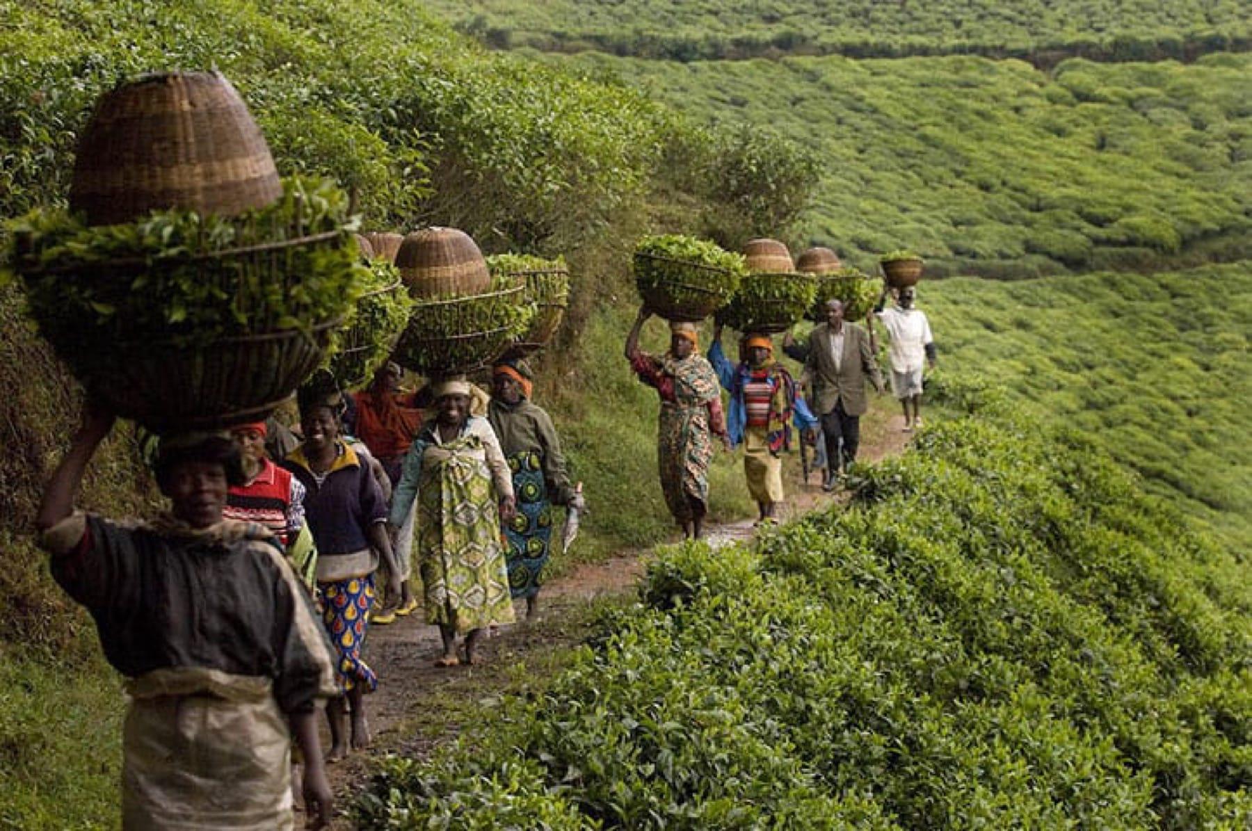 tea farming in rwanda