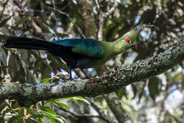 Schalow's turaco  I  Credit: African Bird Club