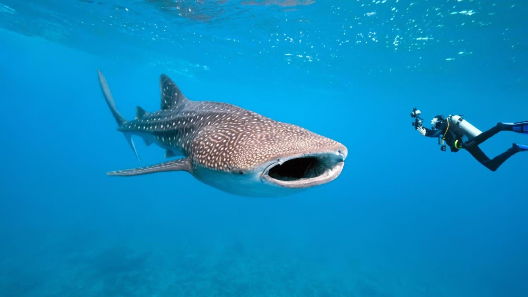 whale shark scuba diving mozambique holiday