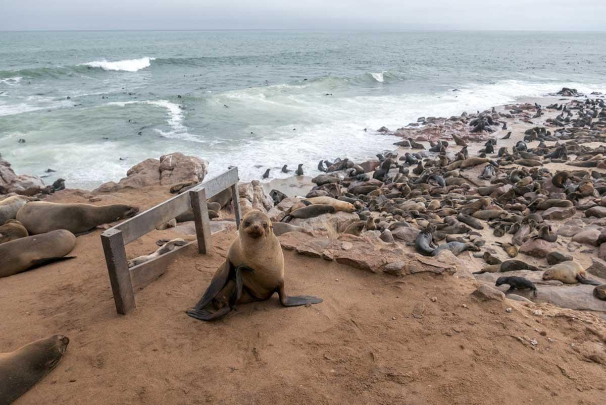 cape fur seals skeleton coast