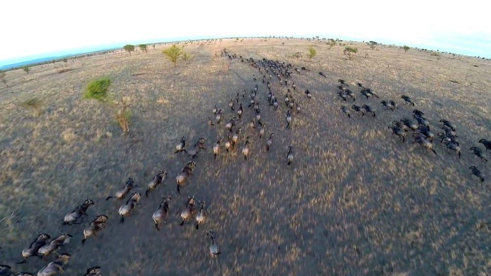 serengeti migration drone footage