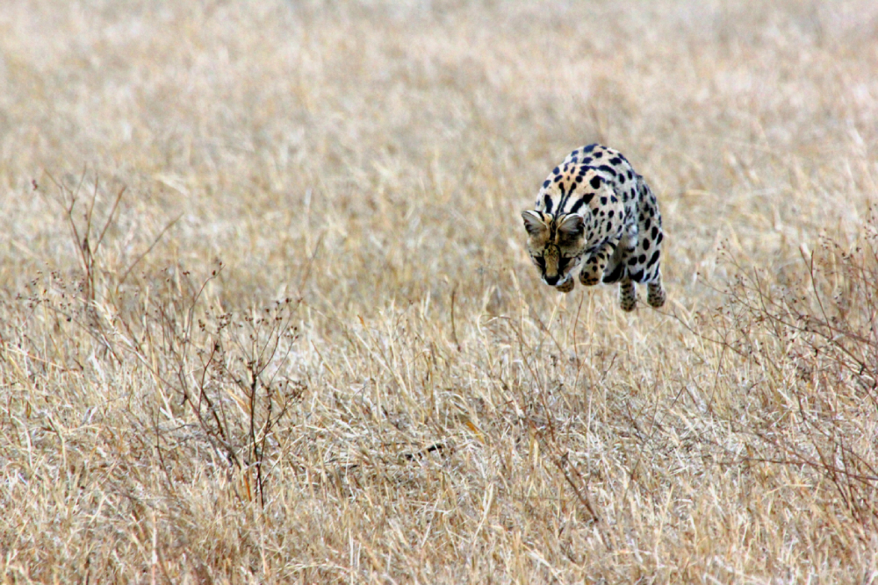 serval pouncing ngorongoro tanzania safari