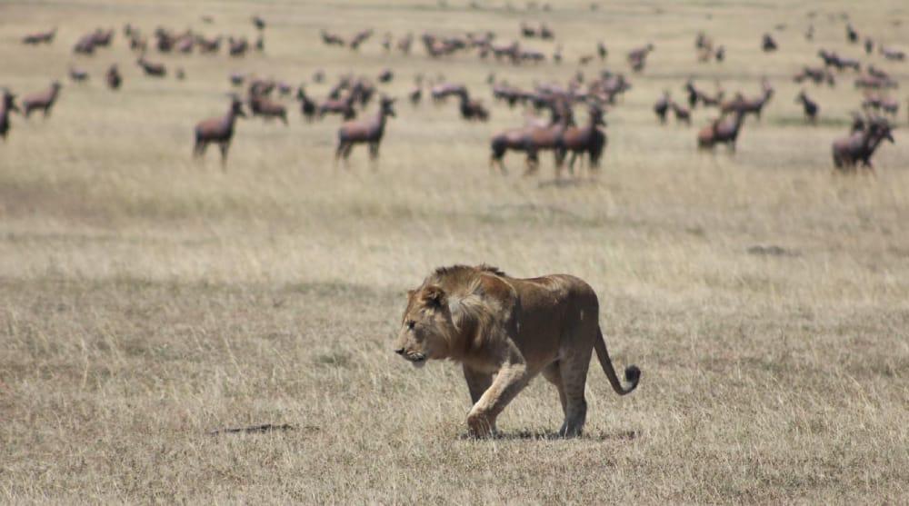 stalking lion big cat safari masai mara