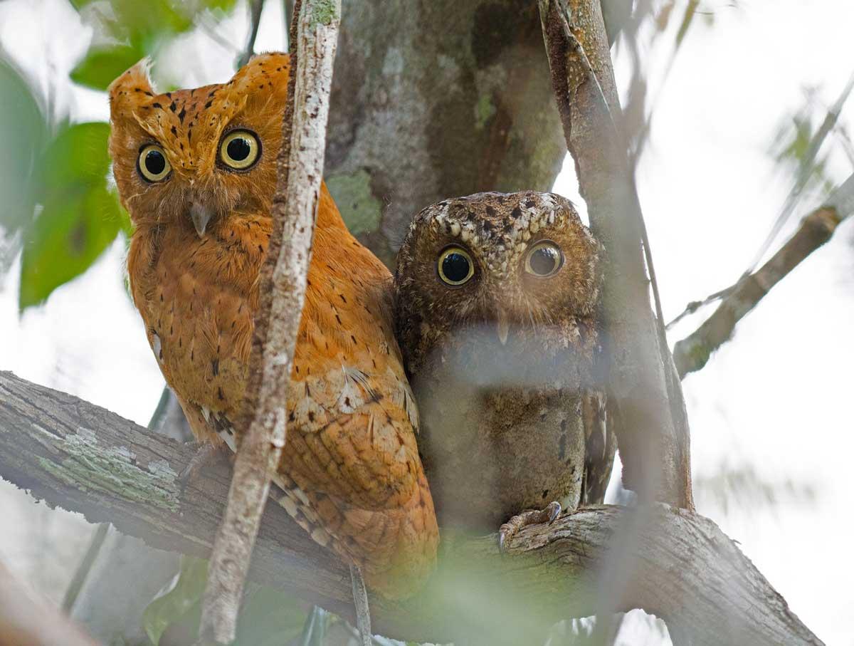 Sokoke scops owl