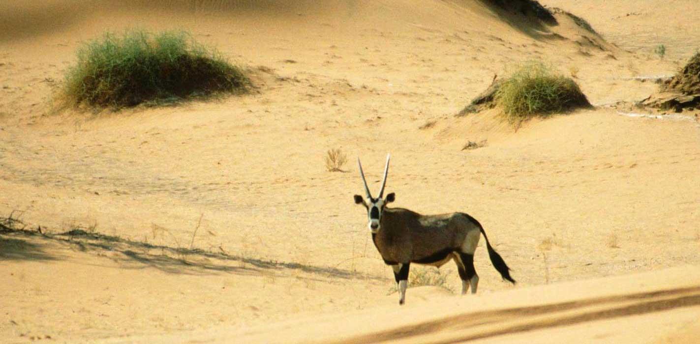 oryx near sossusvlei