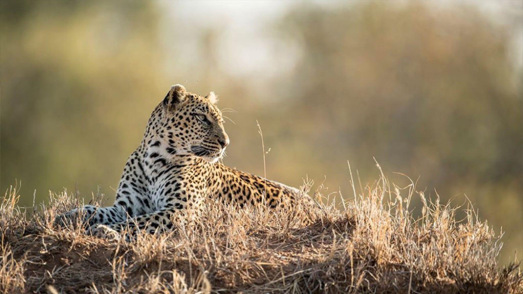 leopard kruger national park sabi sands big five safari