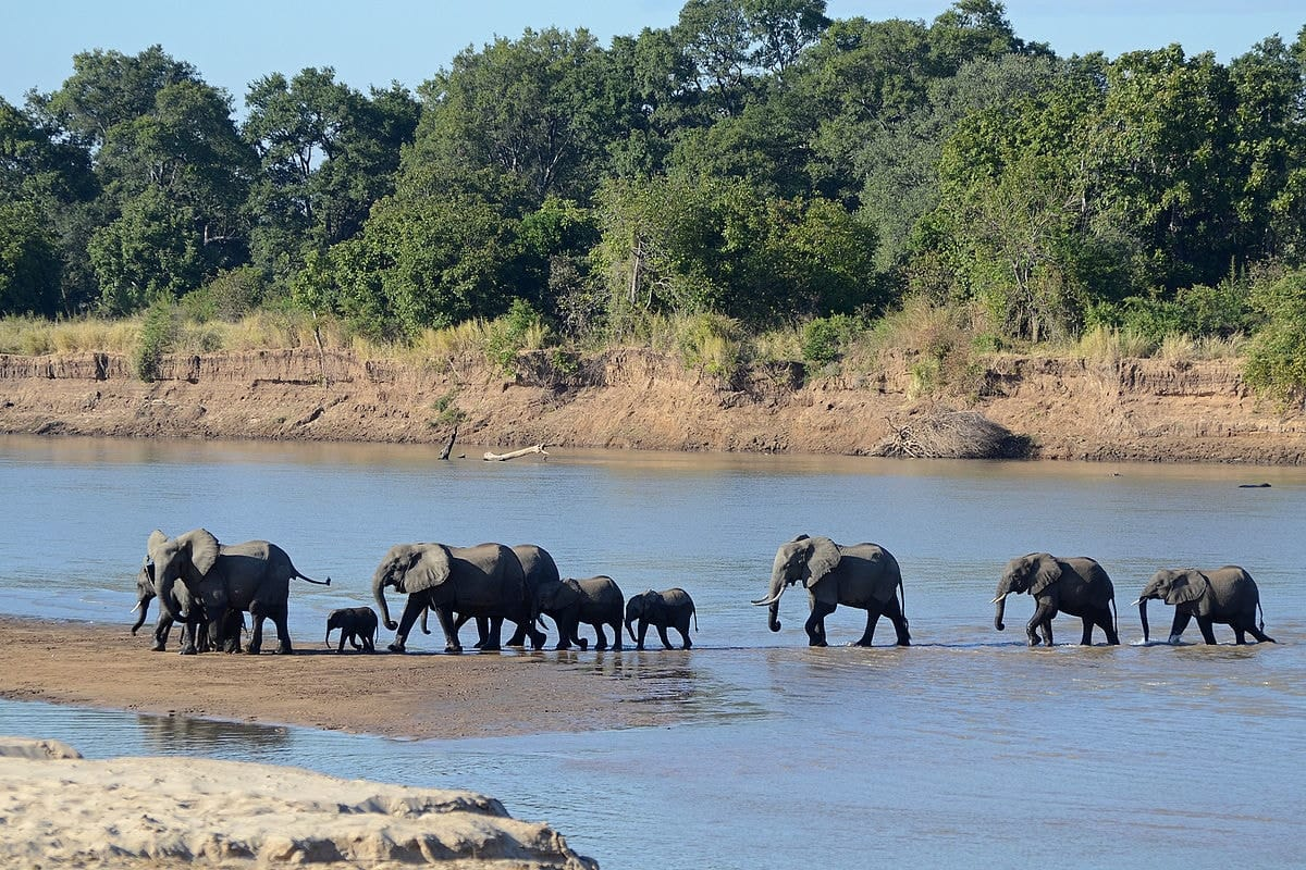 A troop of elephants cross a waterway in South Luanga National Park
